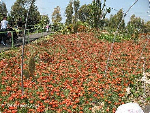 Полюбуйтесь кактусами. Многие из них сейчас цветут. фото 38