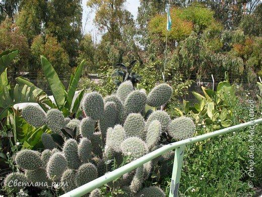Полюбуйтесь кактусами. Многие из них сейчас цветут. фото 2
