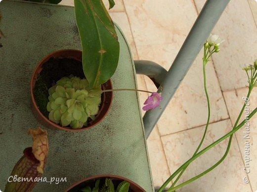 Так растут бананы. фото 15