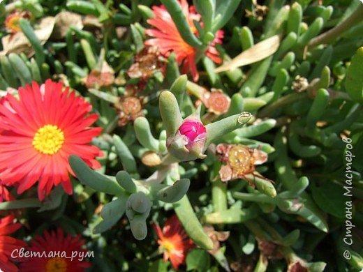 Полюбуйтесь кактусами. Многие из них сейчас цветут. фото 50