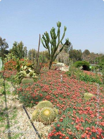 Полюбуйтесь кактусами. Многие из них сейчас цветут. фото 58