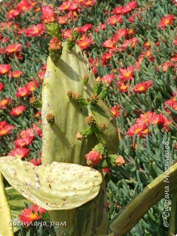 Полюбуйтесь кактусами. Многие из них сейчас цветут. фото 13