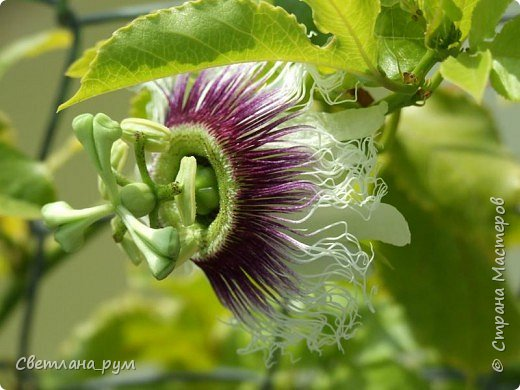 Полюбуйтесь кактусами. Многие из них сейчас цветут. фото 54
