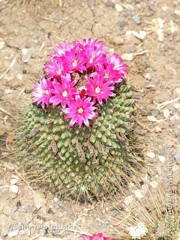 Полюбуйтесь кактусами. Многие из них сейчас цветут. фото 5