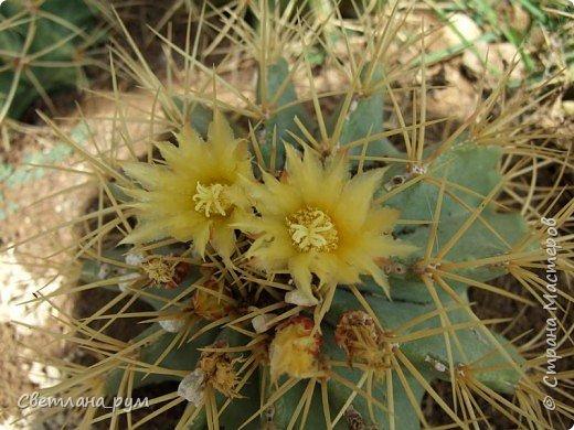 Полюбуйтесь кактусами. Многие из них сейчас цветут. фото 7
