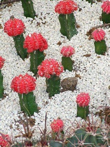 Полюбуйтесь кактусами. Многие из них сейчас цветут. фото 9
