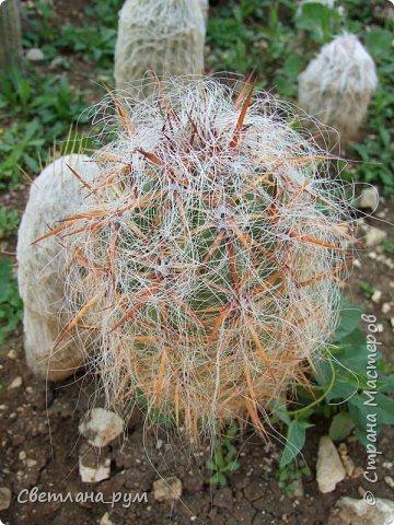 Полюбуйтесь кактусами. Многие из них сейчас цветут. фото 11