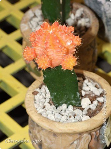 Полюбуйтесь кактусами. Многие из них сейчас цветут. фото 12