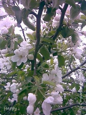 яблони в цвету фото 1