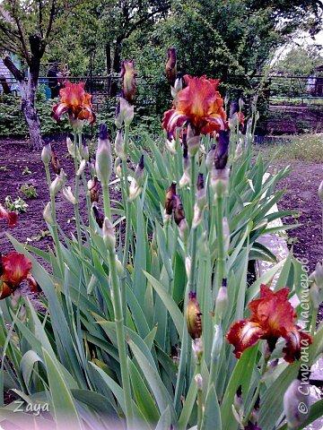 Пришла весна запахло ирисами фото 1