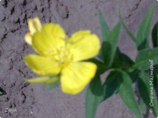 На моей даче зацвели лилии фото 3