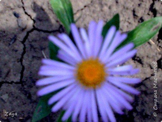На моей даче зацвели лилии фото 4