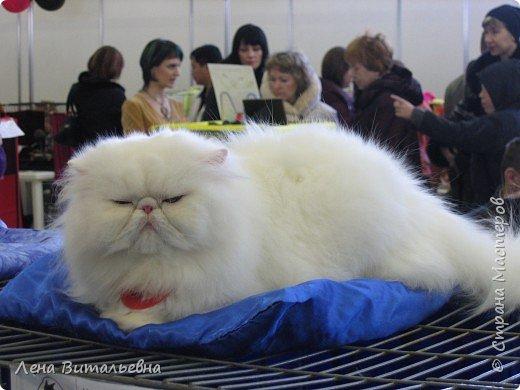 Несколько особо приглянувшихся пушистиков с иркутской выставки кошек. фото 2