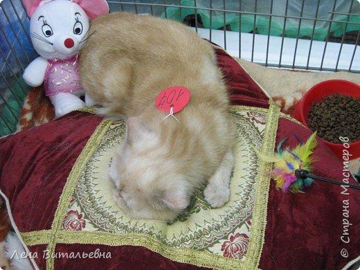 Несколько особо приглянувшихся пушистиков с иркутской выставки кошек. фото 3