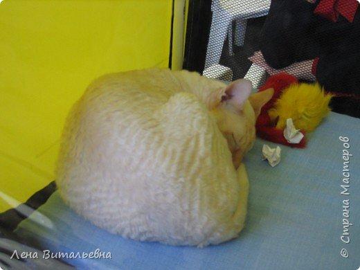Несколько особо приглянувшихся пушистиков с иркутской выставки кошек. фото 5