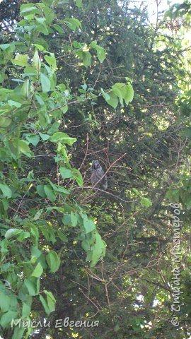 сегодня идя на работу по школьному парку, слышу писк, огляделась, на ели  комок пуха, подошла поближе и вижу совенка, он так внимательно смотрит  на меня.... фото 2