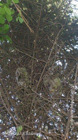 сегодня идя на работу по школьному парку, слышу писк, огляделась, на ели  комок пуха, подошла поближе и вижу совенка, он так внимательно смотрит  на меня.... фото 3