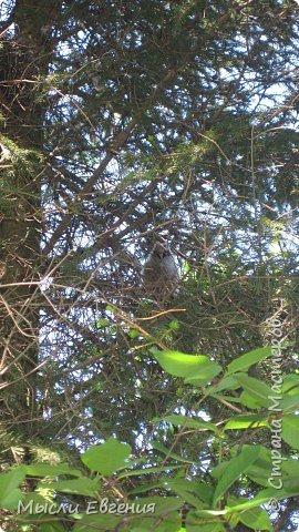 сегодня идя на работу по школьному парку, слышу писк, огляделась, на ели  комок пуха, подошла поближе и вижу совенка, он так внимательно смотрит  на меня.... фото 1