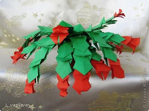 Декабрист. Рождественский кактус.