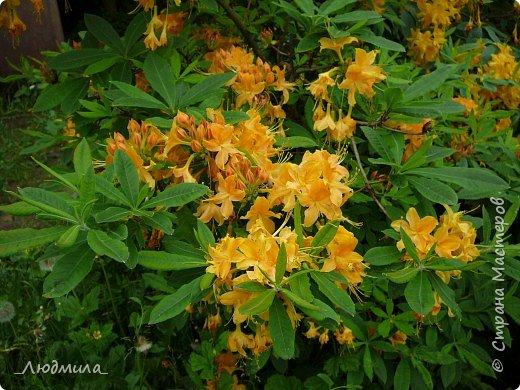 С детьми летнего школьного лагеря ездили на экскурсию в наш Ботанический сад.Там сейчас цветут рододендроны.Хочется поделиться с вами этой красотой. фото 2