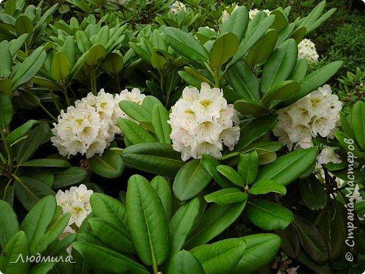 С детьми летнего школьного лагеря ездили на экскурсию в наш Ботанический сад.Там сейчас цветут рододендроны.Хочется поделиться с вами этой красотой. фото 9