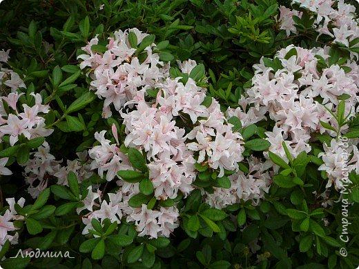 С детьми летнего школьного лагеря ездили на экскурсию в наш Ботанический сад.Там сейчас цветут рододендроны.Хочется поделиться с вами этой красотой. фото 6