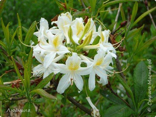 С детьми летнего школьного лагеря ездили на экскурсию в наш Ботанический сад.Там сейчас цветут рододендроны.Хочется поделиться с вами этой красотой. фото 8