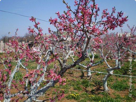 Персики фото 2