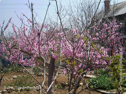 Персики фото 1
