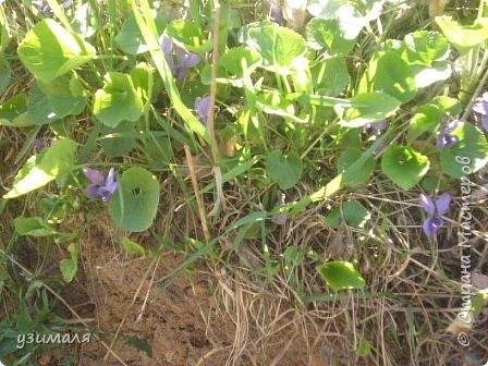 Фиалки в наших лесах. фото 1