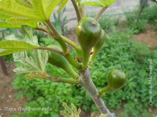На некоторых деревьях сохранились плоды инжира фото 3
