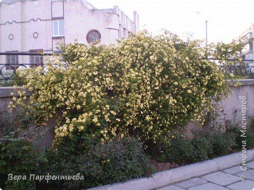 Вьющаяся роза на территории нашей школы фото 2
