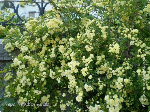 Вьющаяся роза на территории нашей школы фото 1