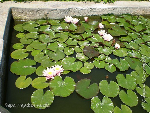 В бассейне - красавицы лилии фото 3