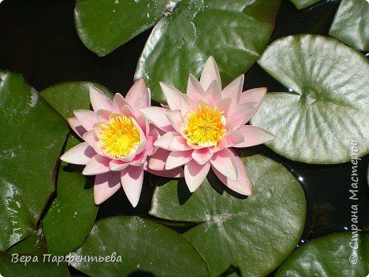 В бассейне - красавицы лилии фото 1