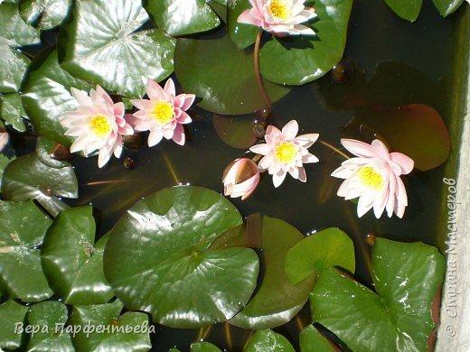 В бассейне - красавицы лилии фото 2