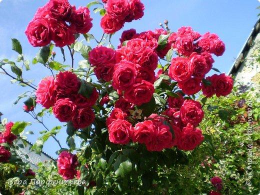 Вьющиеся розы фото 1