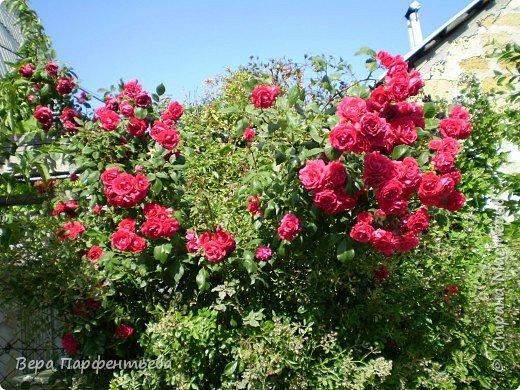 Вьющиеся розы фото 2