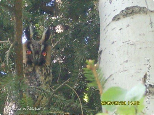 сегодня идя на работу по школьному парку, слышу писк, огляделась, на ели  комок пуха, подошла поближе и вижу совенка, он так внимательно смотрит  на меня.... фото 4
