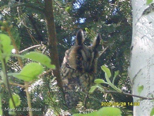 сегодня идя на работу по школьному парку, слышу писк, огляделась, на ели  комок пуха, подошла поближе и вижу совенка, он так внимательно смотрит  на меня.... фото 5