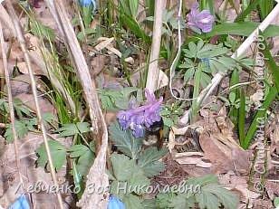 Первоцветы нашего парка фото 1