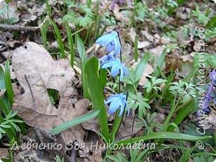 Первоцветы нашего парка фото 2