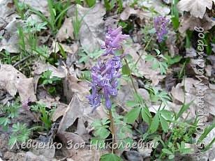Первоцветы нашего парка фото 3