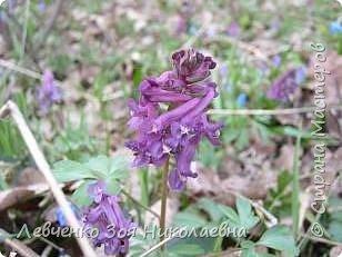 Первоцветы нашего парка фото 5