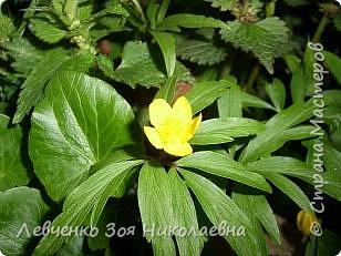 Первоцветы нашего парка фото 7