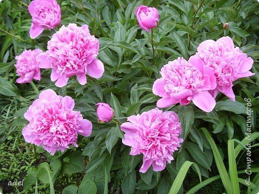 В июне на клумбах в нашем детском саду всегда распускаются эти нежные цветы. Они всегда ассоциируются с летом, отпуском.Радуют и детей , и взрослых, и красотой ,и ароматом. фото 1