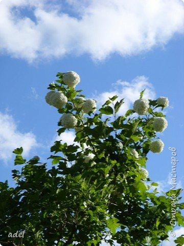 В июне на клумбах в нашем детском саду всегда распускаются эти нежные цветы. Они всегда ассоциируются с летом, отпуском.Радуют и детей , и взрослых, и красотой ,и ароматом. фото 6