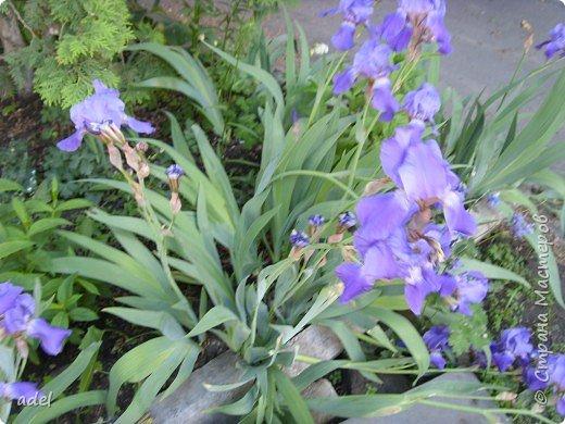 В июне на клумбах в нашем детском саду всегда распускаются эти нежные цветы. Они всегда ассоциируются с летом, отпуском.Радуют и детей , и взрослых, и красотой ,и ароматом. фото 2
