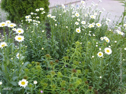 В июне на клумбах в нашем детском саду всегда распускаются эти нежные цветы. Они всегда ассоциируются с летом, отпуском.Радуют и детей , и взрослых, и красотой ,и ароматом. фото 3