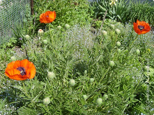 В июне на клумбах в нашем детском саду всегда распускаются эти нежные цветы. Они всегда ассоциируются с летом, отпуском.Радуют и детей , и взрослых, и красотой ,и ароматом. фото 4